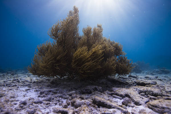 Ric Frazier - Bonaire Coral